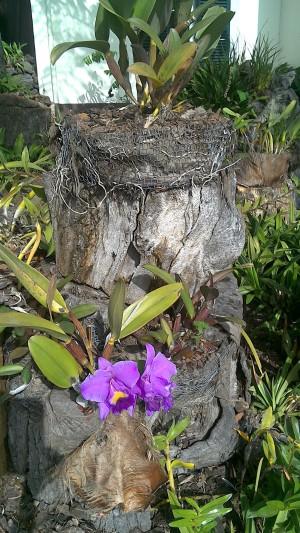 Orchidea. Pôvodom z Himalájí sa tu tak udomácnila, že jej vyšľachtili až 6 tisíc poddruhov.